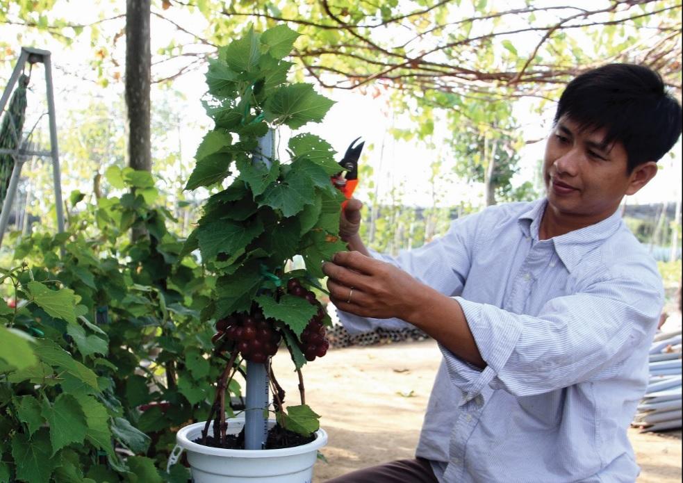 Nông dân trẻ Nguyễn Văn Hòa đang chăm sóc nho kiểng.