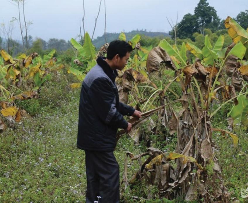 Mô hình trồng chuối tiêu hồng ở bản Chắn thất bại do cây trồng không phù hợp khí hậu, thổ nhưỡng.
