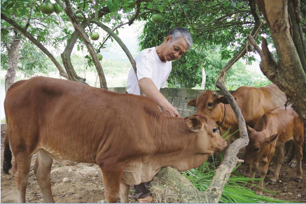 Từ một con bò mẹ được hỗ trợ, hiện gia đình hội viên Nguyễn Đăng Ninh ở thôn 2, xã Cố Nghĩa ( Lạc Thủy) đã có thêm 4 bò con.