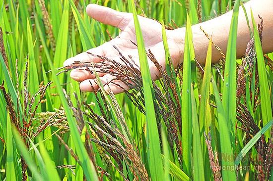 Mô hình lúa thảo dược dù được đánh giá đầy triển vọng nhưng vẫn chưa được xếp vào diện sản xuất nông nghiệp công nghệ cao. (Ảnh minh họa)