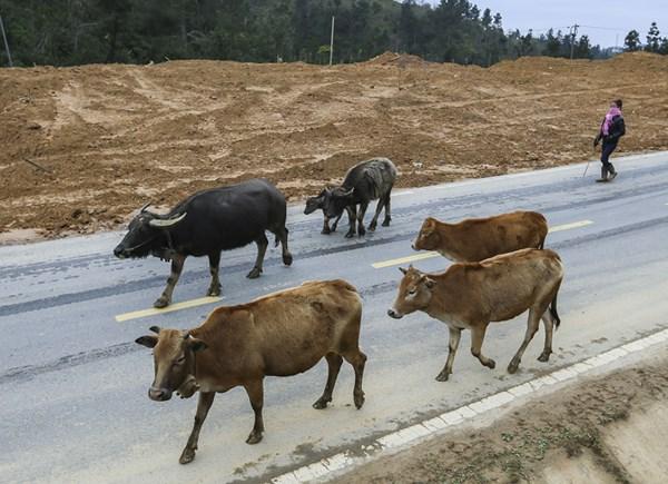Chính quyền các xã đã hướng dẫn người dân chủ động di chuyển bầy gia súc sang khu vực khác ấm hơn, hoặc những vùng thấp hơn để tránh rét.