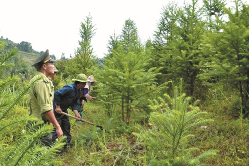 Chăm sóc rừng trồng.