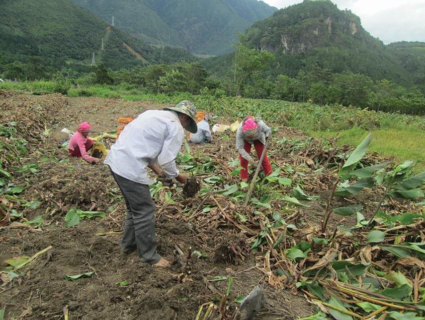 Nhân dân bản Thống Nhất, xã Bình Lư (Tam Đường) thu hoạch dong riềng.
