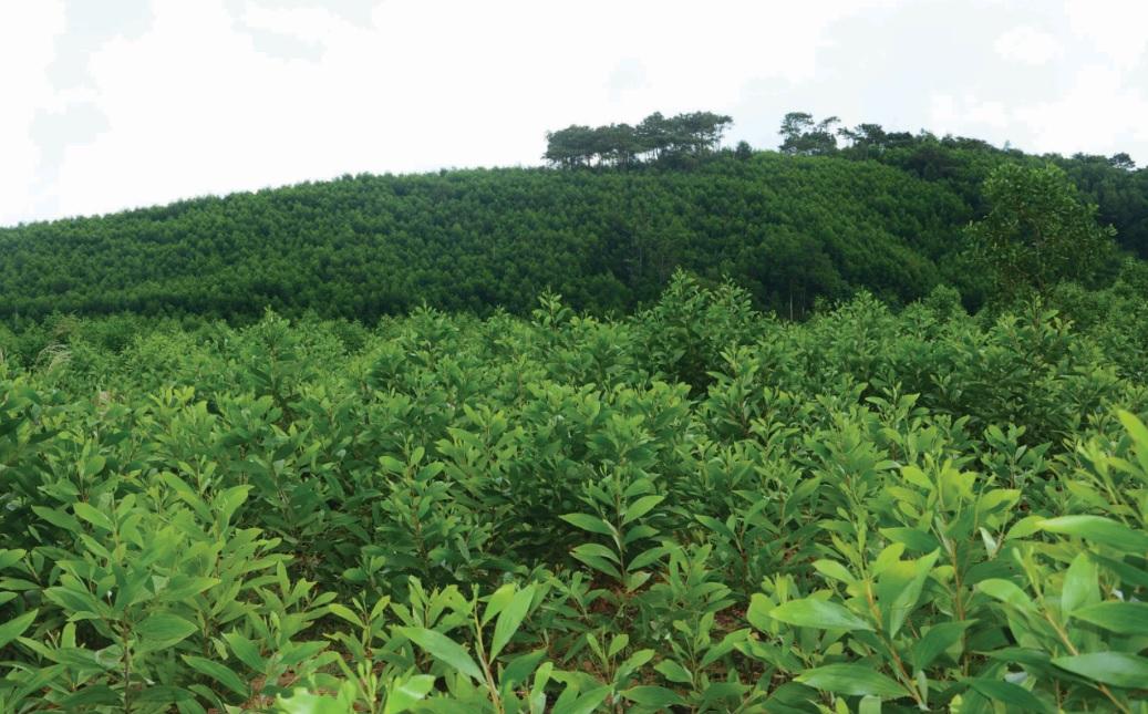 Cây keo là cây xóa đói giảm nghèo ở Ba Tơ.