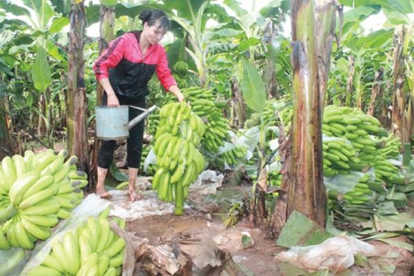 Vườn chuối của gia đình chị Nguyễn Thị Hoài đang cho thu hoạch.