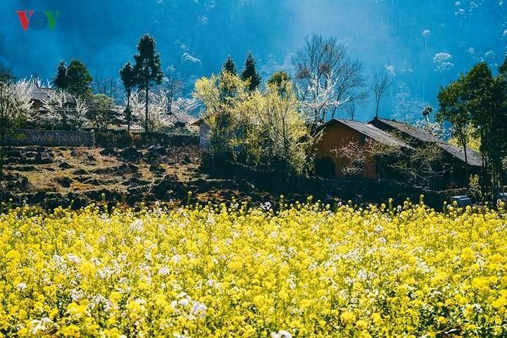 Khi mùa xuân về, cao nguyên đá Hà Giang thay màu áo mới, hoa nở khắp sườn đồi, hoa ngập tràn thung lũng, hoa lan vào cả những bản làng nhỏ bé, khoe sắc bên những căn nhà tường trình dưới chân núi hùng vĩ hay dưới những quả đồi hoang vu.