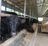 Trang trại bò Kobe của anh Vũ.