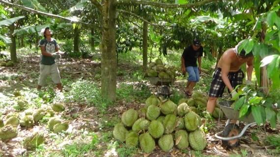 Đất vườn trồng cây ăn quả ở Khánh Vĩnh đang tăng cao.