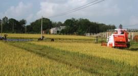 Sau bão, với sự hỗ trợ của các cấp ngành, người dân đã từng bước ổn định sản xuất. (trong ảnh người dân Vạn Ninh thu hoạch lúa)