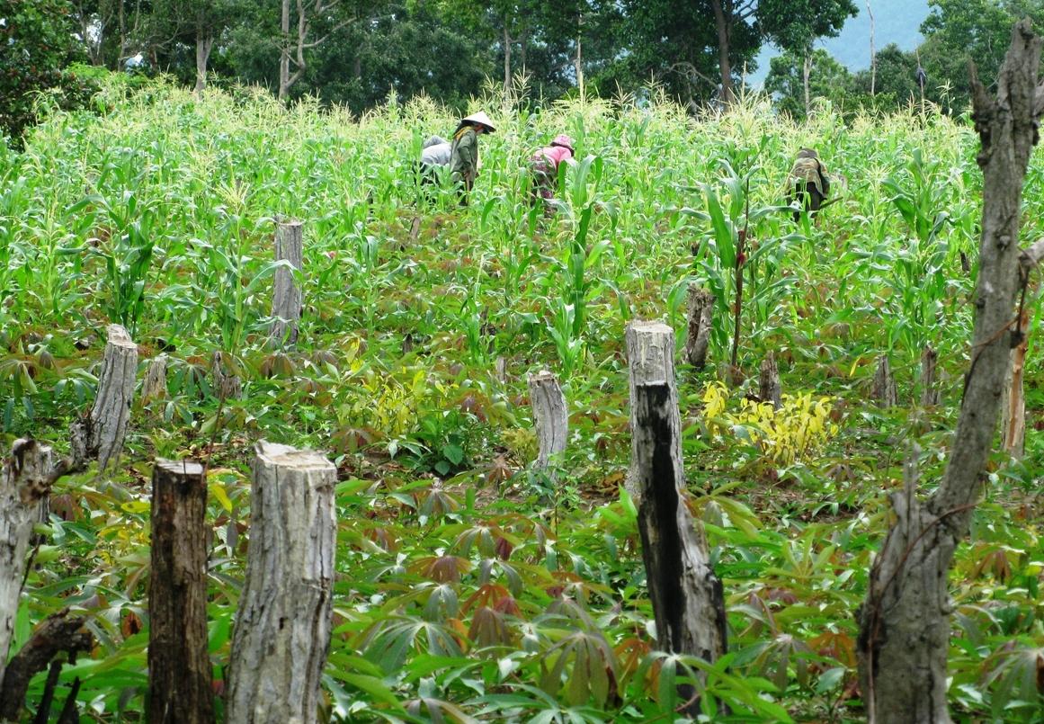 Rừng bị người dân lấn chiếm trồng ngô, sắn ở huyện Ea H'leo, Đăk Lăk.