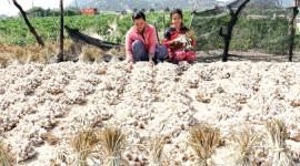 Nông dân phơi tỏi cho các chủ vựa thu mua.
