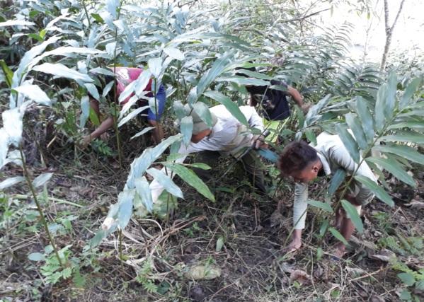 Người dân vùng cao Mường Tè chăm sóc cây sa nhân tím.