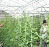 Mô hình sản xuất dưa vàng Kim hoàng hậu trong nhà kính tại HTX dịch vụ nông nghiệp  và nông sản hữu cơ Trúc Phượng.