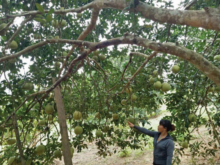 Nhiều mô hình giảm nghèo ở Mộc Châu đem lại hiệu quả cao nhờ đi đúng hướng. (Trong ảnh: Mô hình trồng bưởi ở xã Chiềng Sơn cho thu nhập 250 triệu đồng/1 năm)