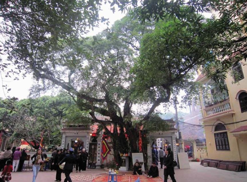Cây Sanh đình làng Cống Vị (Ba Đình, Hà Nội) được công nhận là Cây di sản Việt Nam năm 2010.