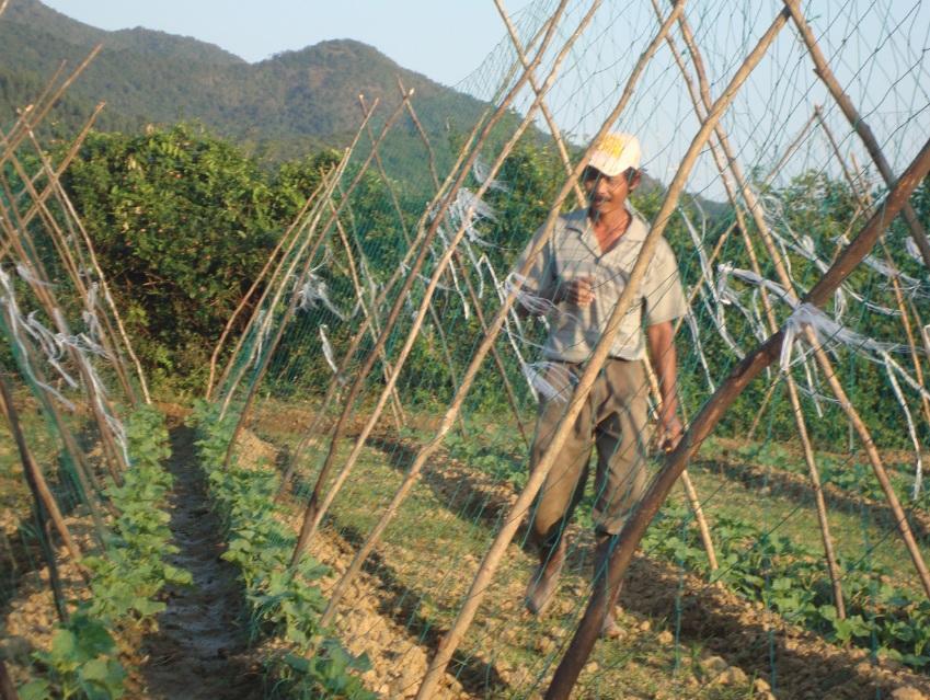 Nhờ được hướng dẫn kỹ thuật, người dân miền núi Quảng Ngãi đã biết trồng rau sạch theo hướng hàng hóa.