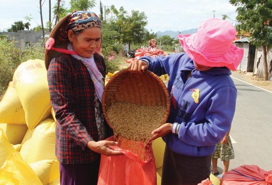 Nông dân làng Chăm Lương Tri thu hoạch lúa đông- xuân đạt năng suất trên 7 tấn/ha.