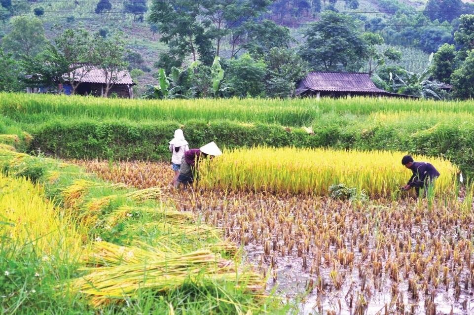 Mùa gặt ở vùng cao Quảng Trị.