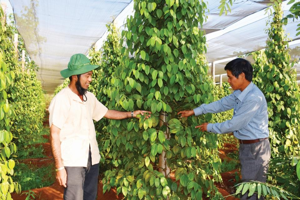 Vườn tiêu sản xuất theo hướng hữu cơ của một thành viên Tổ liên kết.