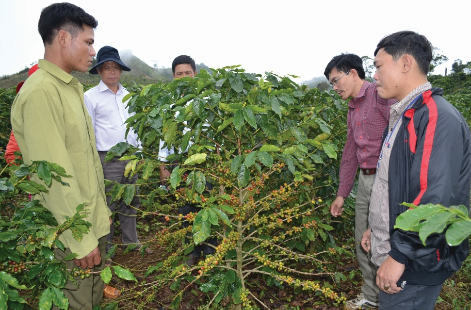 Sản phẩm cà phê xứ lạnh ở huyện Kon Plông có đầu ra ổn định.