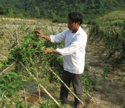 Trồng cây ba kích giúp nông dân nâng cao thu nhập.  (Ảnh minh họa)