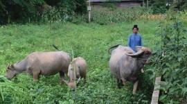 Nhiều hộ nông dân ở Điện Biên Đông thoát nghèo từ mô hình  chăn nuôi đại gia súc.