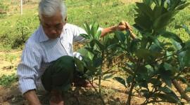 Ông Triệu Văn Sượi đang chăm sóc diện tích bưởi của gia đình.