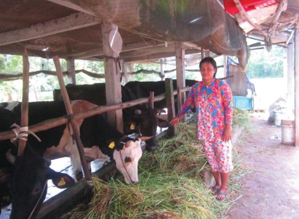 Chị Lý Thị Ngọc Thanh thành viên trong CLB Chia sẻ chăm sóc đàn bò sữa và đã thoát nghèo nhờ nuôi bò sữa.