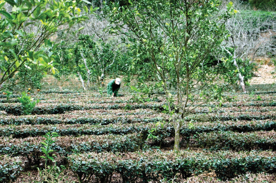 Lựa chọn mô hình hỗ trợ phát triển sản xuất phù hợp với địa bàn, đối tượng là giải pháp để Bắc Kạn thực hiện hiệu quả công tác giảm nghèo. (Trong ảnh: Mô hình trồng xen cây ăn quả và chè ô long ở thôn Phiêng An 2, xã Quang Thuận, huyện Bạch Thông)