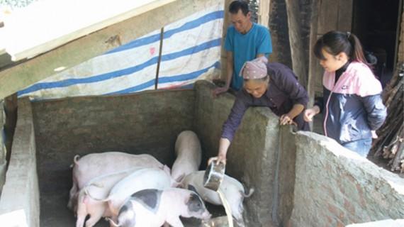 Gia đình ông Bế Văn Lợi ở thôn Khe Bó thoát nghèo từ mô hình chăn nuôi lợn thịt.