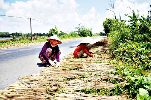Bông sậy khi vào mùa mang về nguồn thu nhập khá lớn cho người dân dưới tán rừng U Minh Hạ.