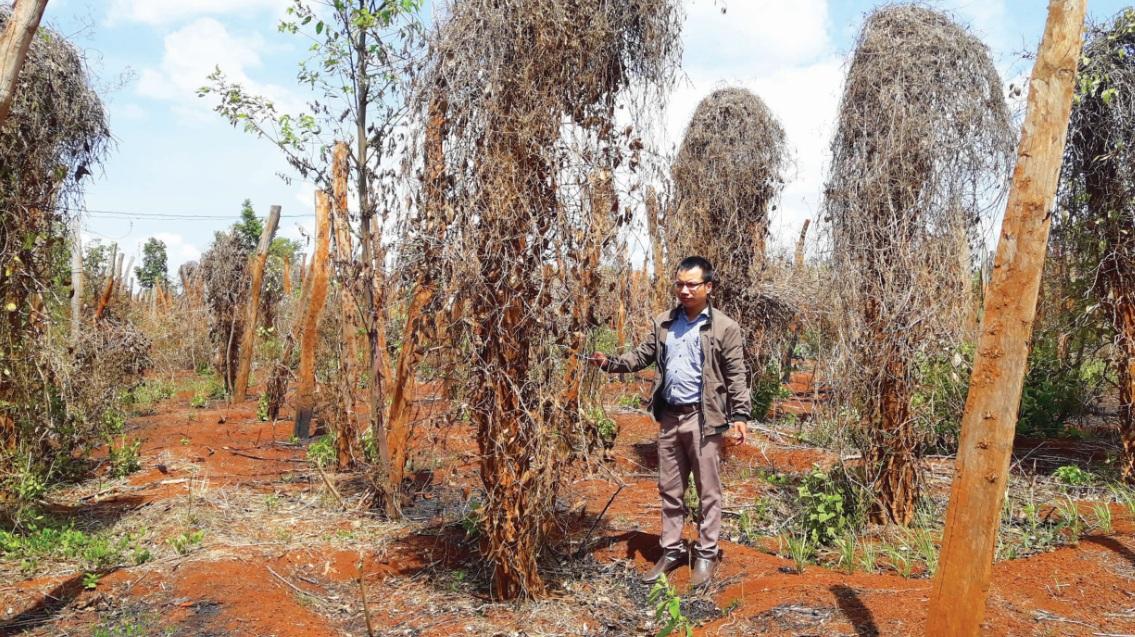 Đề nghị công an điều tra việc mua bán rễ hồ tiêu