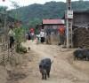 Dịch bệnh tả lợn châu Phi