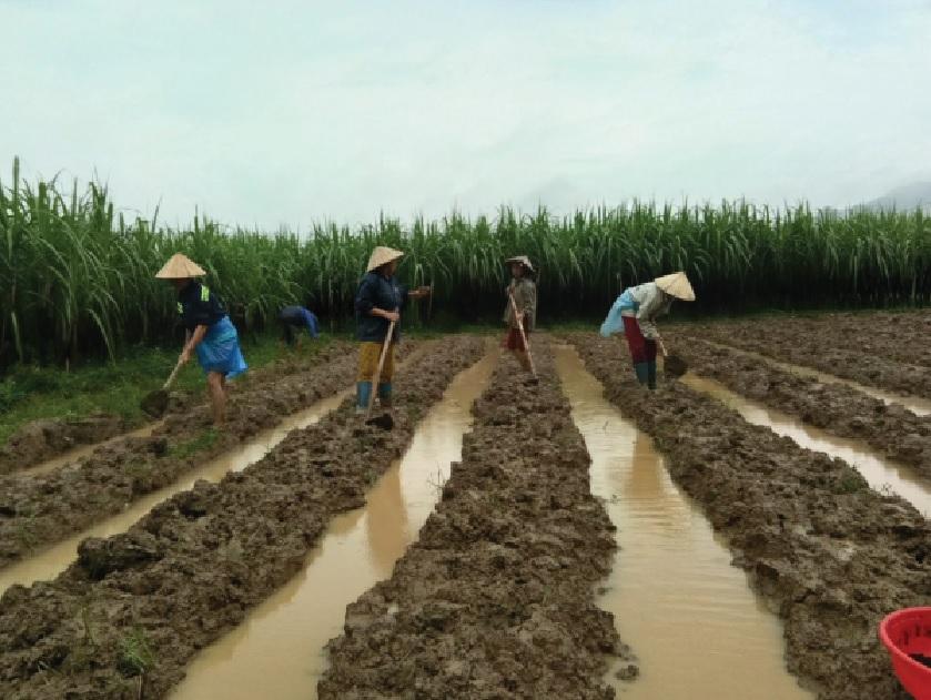 Các thành viên trong HTX nông sản Bá Thước cải tạo đất để mở rộng sản xuất.