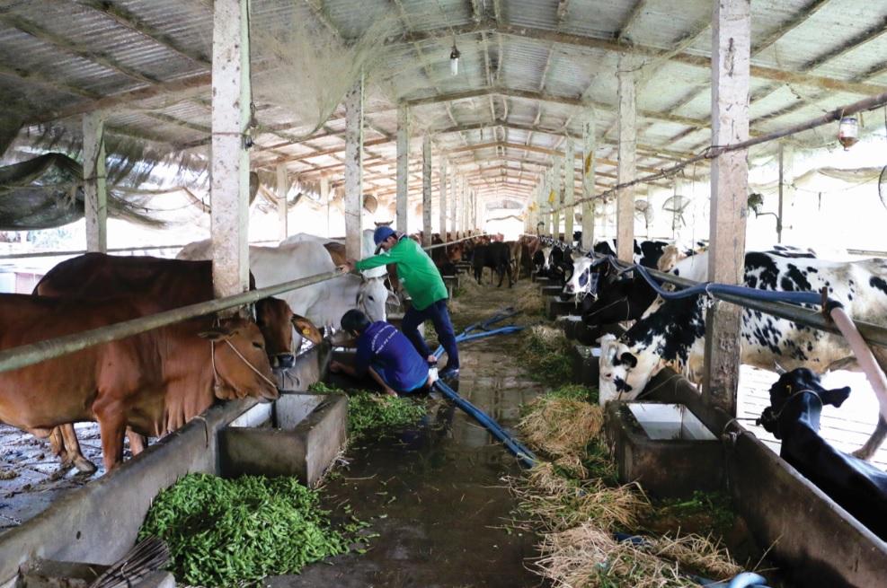 Mô hình nuôi bò hiệu quả từ tận dụng phụ phẩm rơm và vỏ đậu nành ở huyện Tri Tôn (An Giang).