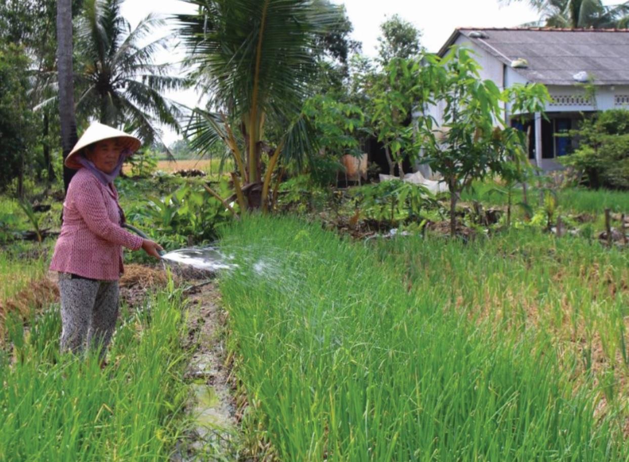 Bà Thạch Thị Hạnh ở ấp Bưng Long (xã Long Phú-Long Phú), từ nguồn vốn hỗ trợ sản xuất cho đồng bào Khmer, bà đã đầu tư trồng hành chuyên canh cho thu nhập ổn định.