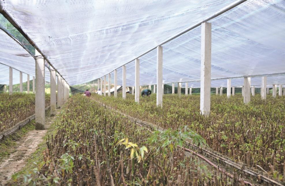 Cần quản lý đất đai nông, lâm trường minh bạch và công bằng. (Trong ảnh: Vườn ươm dược liệu tại Nam Trà My, Quảng Nam)