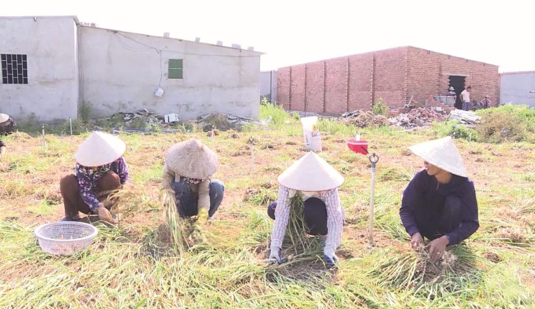 Người dân Vạn Ninh đang thu hoạch tỏi.