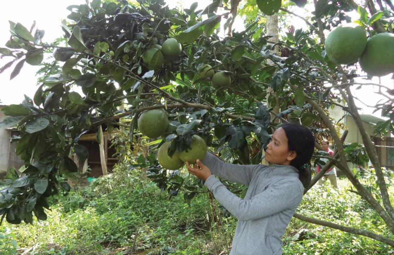 Nhiều hộ đồng bào DTTS ở Khánh Vĩnh được hỗ trợ giống bưởi da xanh để trồng bước đầu đã mang lại hiệu quả.