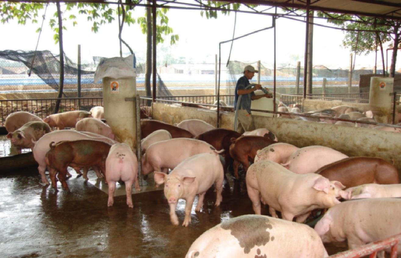 Nghề chăn nuôi heo tiềm ẩn nhiều nguy cơ rủi ro, khi đầu ra phụ thuộc vào thị trường xuất khẩu tiểu ngạch.