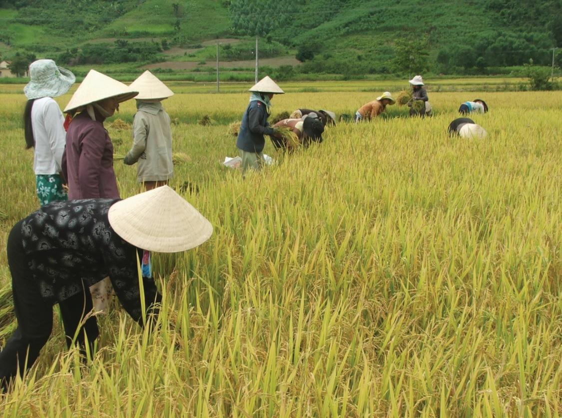 Chương trình hỗ trợ lúa lai đang góp phần đảm bảo an ninh lương thực và giúp đồng bào DTTS ở Phú Yên có thêm thu nhập.