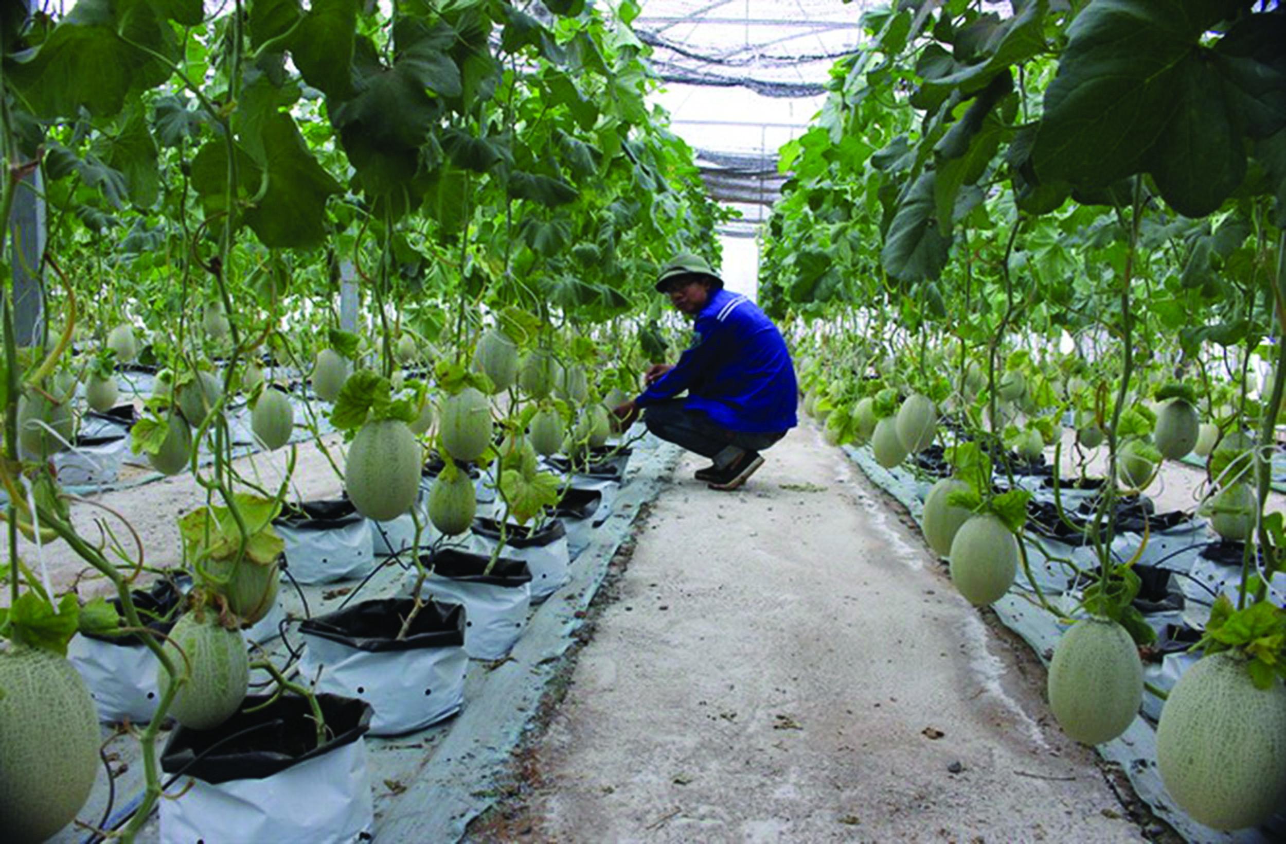 Trồng dưa lưới trong nhà kính, hướng đi mới trong sản xuất nông nghiệp ở Tây Ninh.