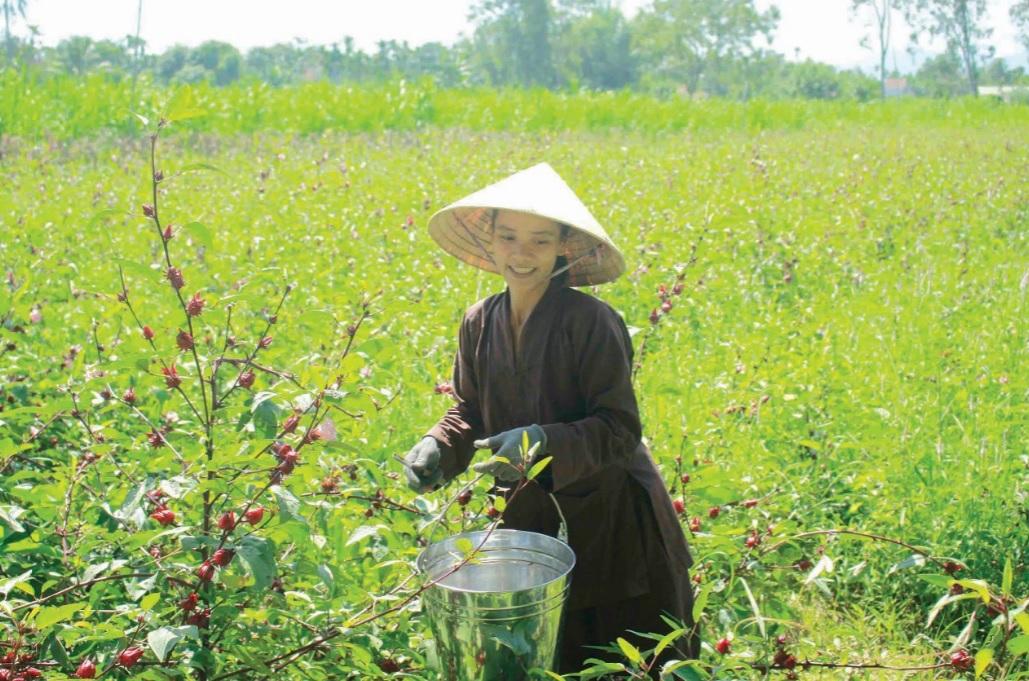 Chị Hà là người đầu tiên trồng cây atiso đỏ trên đất Quảng Ngãi, mang lại hiệu quả khả quan.