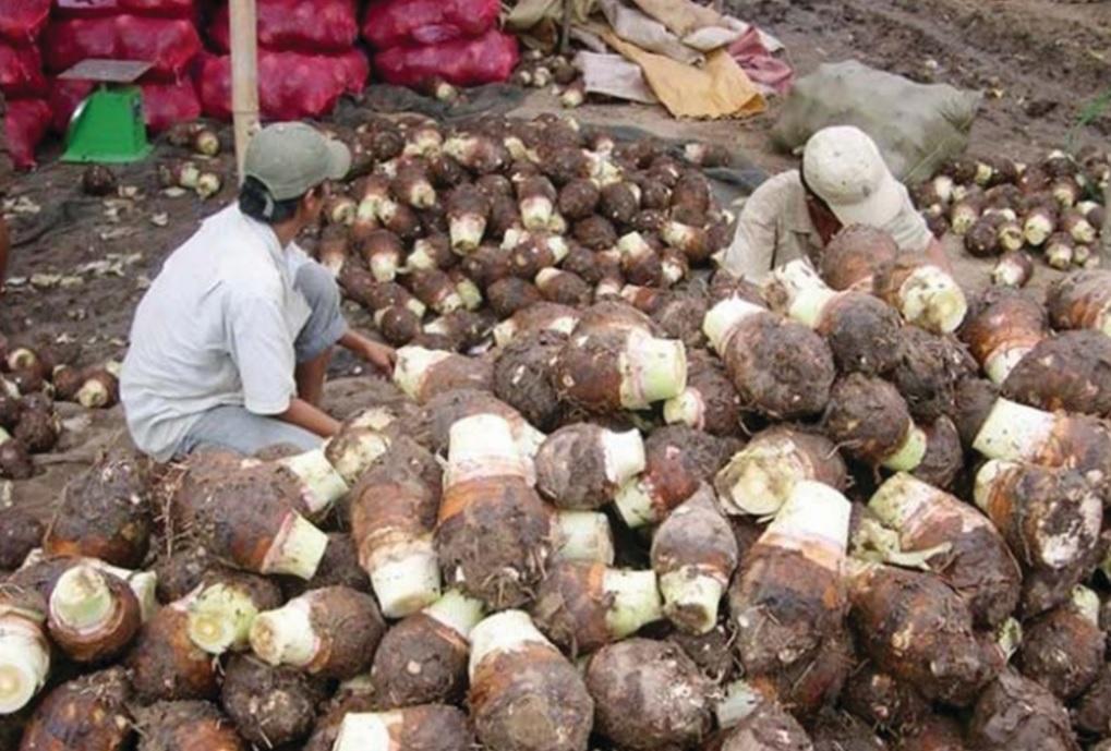 Nông dân xã đảo An Thạnh Nam thu hoạch khoai môn.