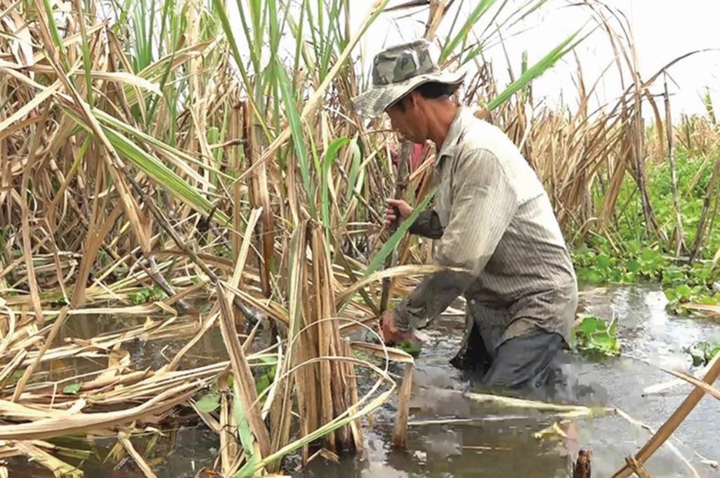 Nông dân thu hoạch mía chạy lũ vào tháng 9 năm 2018.
