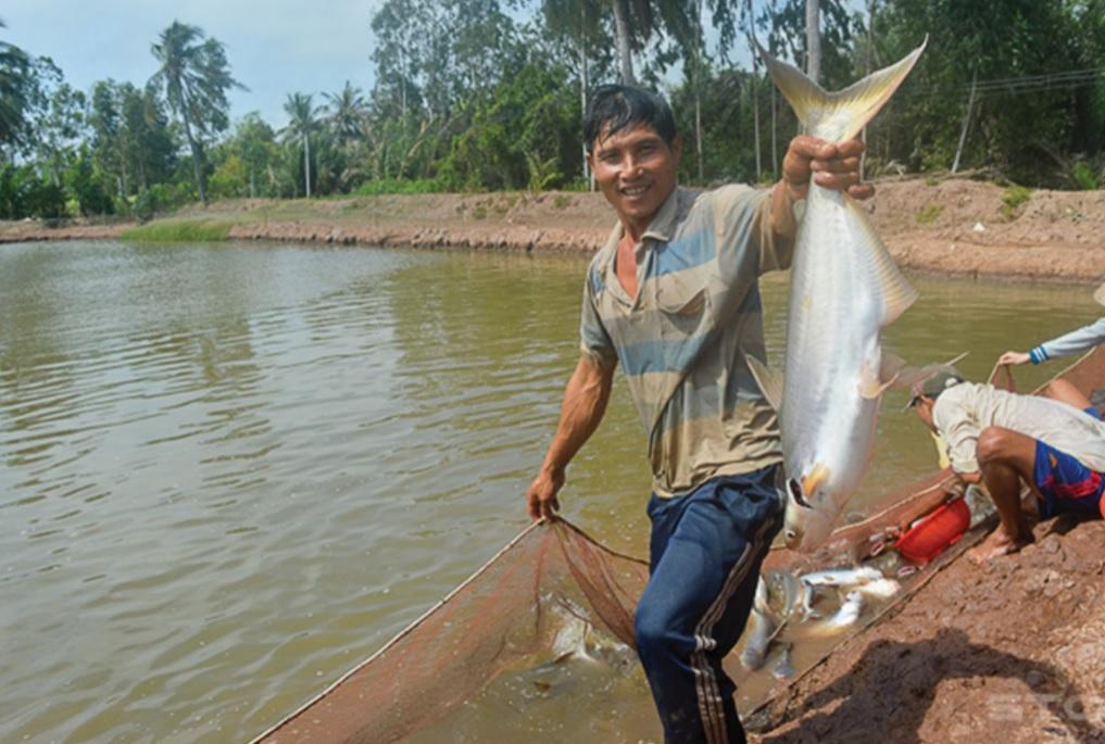 Ông Nguyễn Văn Kiệt, ấp Vàm Hồ thu hoạch cá bông lau.