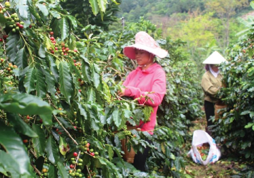 Niên vụ cà phê 2017-2018 nhiều gia đình ở Mường Ảng đầu tư rất lớn vào cây cà phê nhưng lại bị thiệt hại kép vừa mất mùa, vừa mất giá.