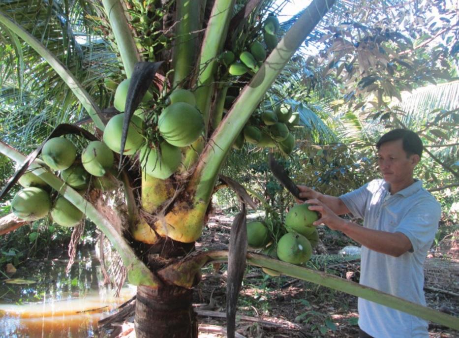 Anh Thạch Em bên cây dừa sáp-một loại cây đã giúp anh và nhiều hộ Khmer ở ấp Chông Nô 2 có thu nhập khá cao.