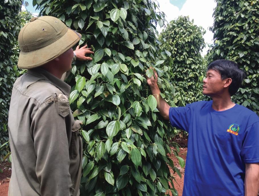 Anh Thượng Đình Hiển (bên phải) đang trao đổi về kỹ thuật trồng và chăm sóc cây hồ tiêu với người dân trong thôn.