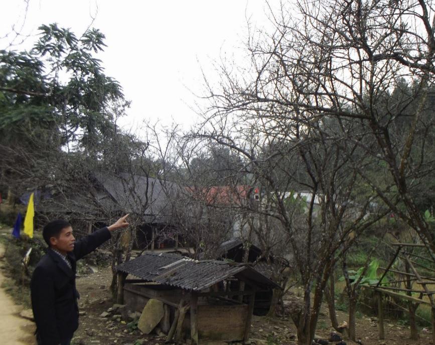 Anh Vàng Seo Dìn giới thiệu cây mận Tả Van cũ đã được cải tạo theo Dự án.